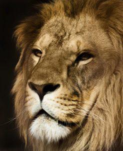 A photo of a big lion