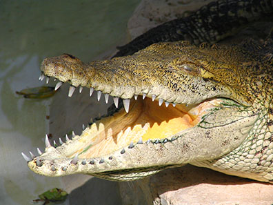 Alligator with open jaws